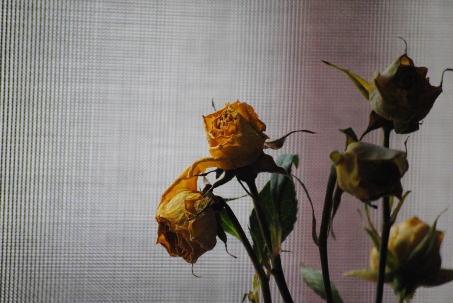 rose-676760